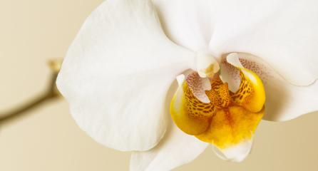 White Orchid singel flower on brown background : Stock Photo or Stock Video Download rcfotostock photos, images and assets rcfotostock | RC-Photo-Stock.: