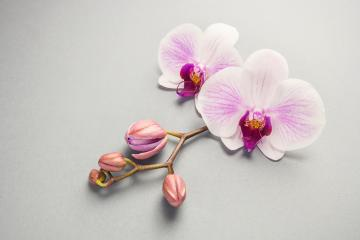 White orchid with buds on the grey background- Stock Photo or Stock Video of rcfotostock | RC-Photo-Stock