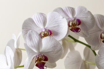 white Pink Orchid flowers on brown background- Stock Photo or Stock Video of rcfotostock | RC-Photo-Stock