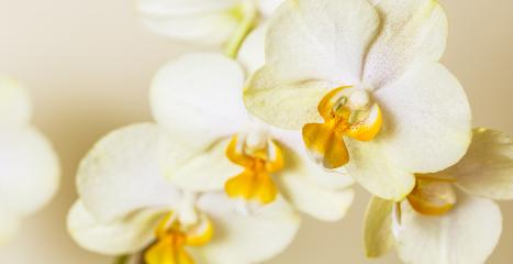 white yellow Orchid flowers cosmetics on brown background- Stock Photo or Stock Video of rcfotostock | RC-Photo-Stock