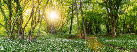 Wild garlic flowers in the forest at sunset, panoramic view- Stock Photo or Stock Video of rcfotostock | RC-Photo-Stock