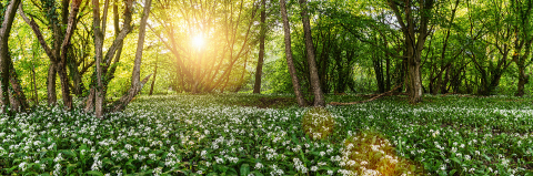 Wild garlic forest in germany at spring with beautiful bright sun rays panorama- Stock Photo or Stock Video of rcfotostock | RC-Photo-Stock
