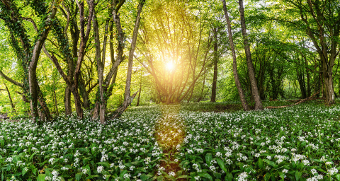Wild garlic forest in spring with beautiful bright sun rays in germany - panorama- Stock Photo or Stock Video of rcfotostock | RC-Photo-Stock