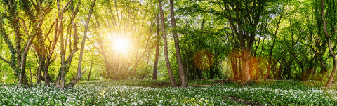 Wild garlic forest in spring with beautiful bright sun rays, panorama- Stock Photo or Stock Video of rcfotostock | RC-Photo-Stock