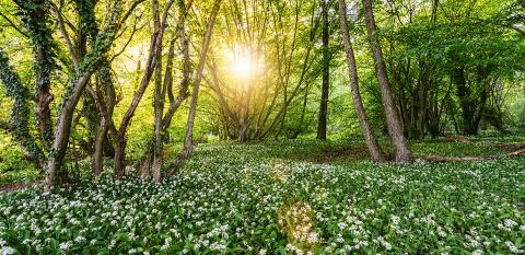 Wild Garlic Forest in springtime- Stock Photo or Stock Video of rcfotostock | RC-Photo-Stock