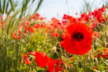 Wild papaver rhoeas or poppy flowers growing wild in the country- Stock Photo or Stock Video of rcfotostock | RC-Photo-Stock