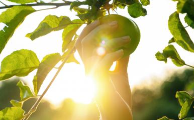 Woman hand picks apple from a tree, bright rays of the sun- Stock Photo or Stock Video of rcfotostock | RC-Photo-Stock