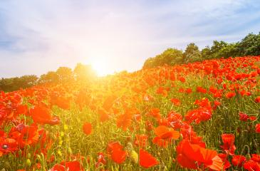 Wonderful landscape during sunrise. Blooming red poppies on field against the sun, blue sky. Wild flowers in springtime. Beautiful natural landscape in the summertime. : Stock Photo or Stock Video Download rcfotostock photos, images and assets rcfotostock | RC-Photo-Stock.: