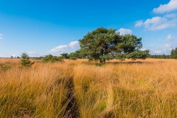 Wooden boardwalk to a bog pine at the High Fens a bog landscape at autumn, Belgium, Hohes Venn- Stock Photo or Stock Video of rcfotostock | RC-Photo-Stock