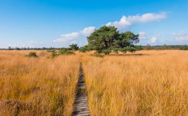 wooden trail to a bog pine at the High Fens a bog landscape at autumn, Belgium, Hohes Venn- Stock Photo or Stock Video of rcfotostock | RC-Photo-Stock
