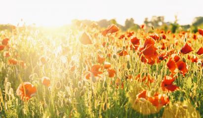 Wunderful poppy field at susnet- Stock Photo or Stock Video of rcfotostock | RC-Photo-Stock