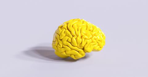 yellow human brain Anatomical Model- Stock Photo or Stock Video of rcfotostock | RC-Photo-Stock