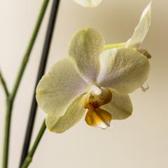 yellow Orchid flowers on brown background- Stock Photo or Stock Video of rcfotostock | RC-Photo-Stock