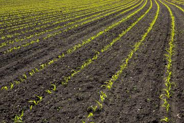 Young crops of corn in an agricultural field in the beautiful rays of the morning sun. Corn plants growing in rows.- Stock Photo or Stock Video of rcfotostock | RC-Photo-Stock
