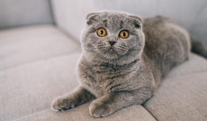 young kitten lying on a couch. The Scottish Fold Shorthair with blue gray fur.- Stock Photo or Stock Video of rcfotostock | RC-Photo-Stock
