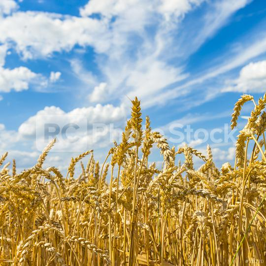 agriculture cornfield with blue sky  : Stock Photo or Stock Video Download rcfotostock photos, images and assets rcfotostock | RC-Photo-Stock.: