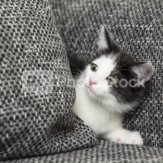 beautiful cute citten with white neck and white feet and and tiger fur sitting like a model on a couch  : Stock Photo or Stock Video Download rcfotostock photos, images and assets rcfotostock | RC-Photo-Stock.: