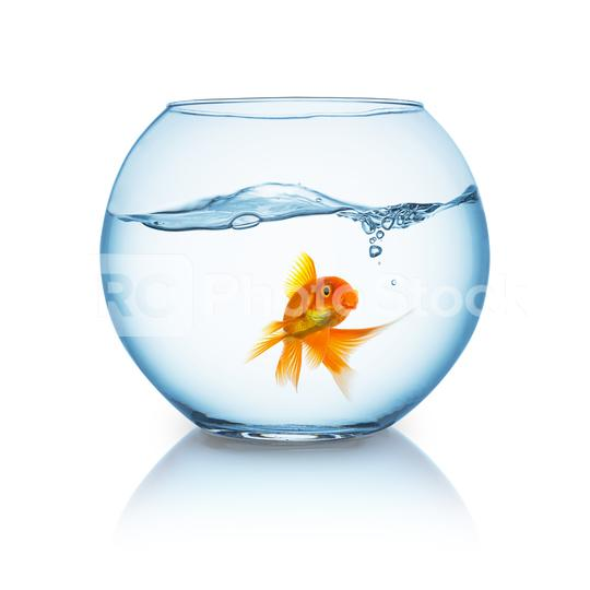 beautiful goldfish in a fishbowl  : Stock Photo or Stock Video Download rcfotostock photos, images and assets rcfotostock   RC-Photo-Stock.: