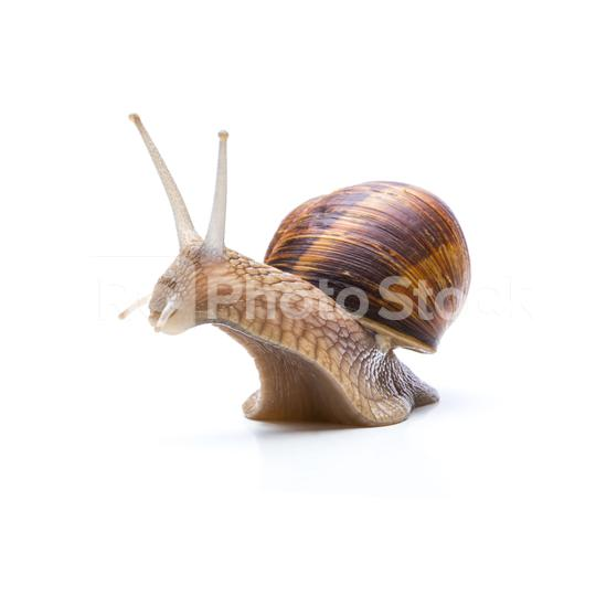 big brown garden snail  : Stock Photo or Stock Video Download rcfotostock photos, images and assets rcfotostock   RC-Photo-Stock.: