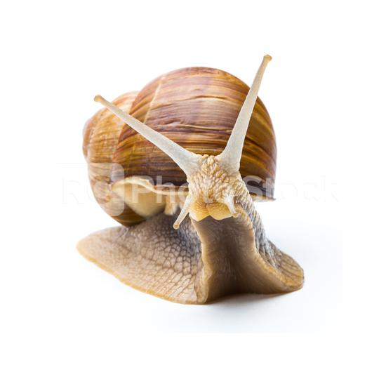 Big garden snail (Helix aspersa)  : Stock Photo or Stock Video Download rcfotostock photos, images and assets rcfotostock | RC-Photo-Stock.: