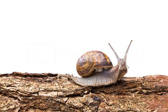 Big garden snail on a tree trunk  : Stock Photo or Stock Video Download rcfotostock photos, images and assets rcfotostock   RC-Photo-Stock.: