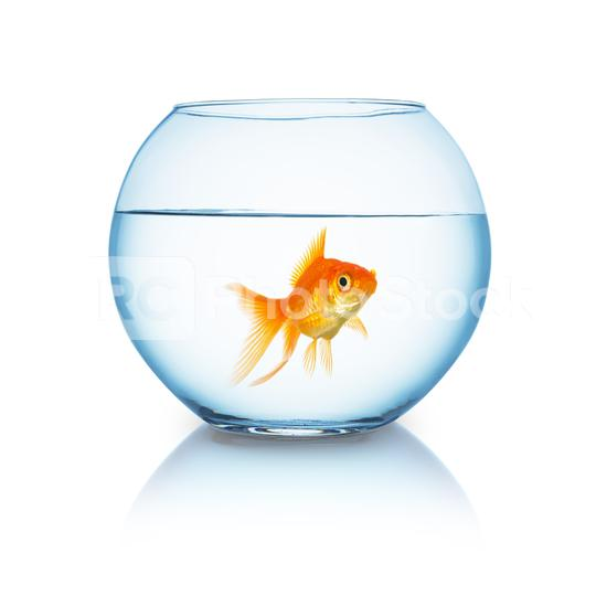 big goldfish in a fishbowl  : Stock Photo or Stock Video Download rcfotostock photos, images and assets rcfotostock   RC-Photo-Stock.: