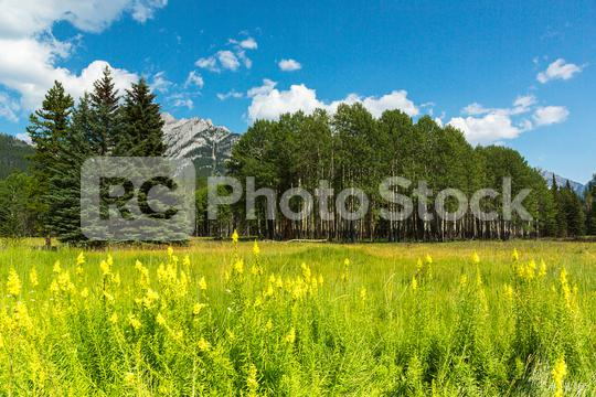 Birch forest at the Banff National park canada  : Stock Photo or Stock Video Download rcfotostock photos, images and assets rcfotostock   RC-Photo-Stock.: