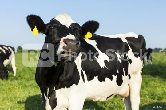 Black cow on meadow agriculture landscape  : Stock Photo or Stock Video Download rcfotostock photos, images and assets rcfotostock | RC-Photo-Stock.: