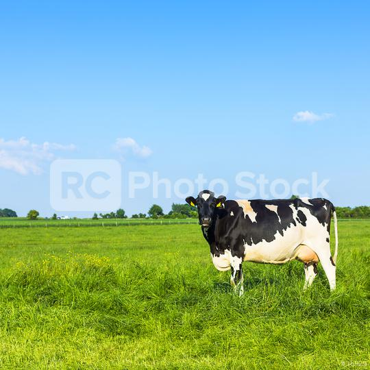 Black cow on meadow landscape with blue sky  : Stock Photo or Stock Video Download rcfotostock photos, images and assets rcfotostock | RC-Photo-Stock.: