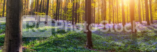 bluebells field in Hallerbos Forest  : Stock Photo or Stock Video Download rcfotostock photos, images and assets rcfotostock | RC-Photo-Stock.: