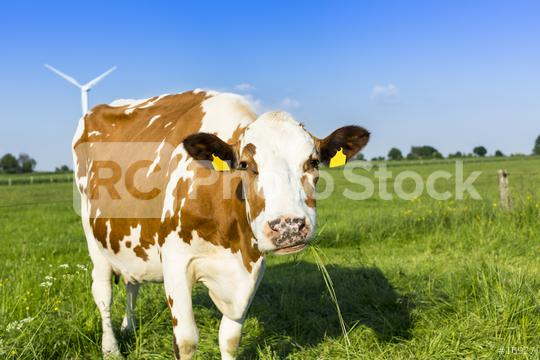 brown cow on meadow agriculture landscape  : Stock Photo or Stock Video Download rcfotostock photos, images and assets rcfotostock | RC-Photo-Stock.: