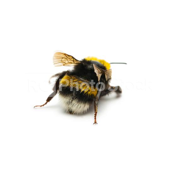 bumblebee from behind  : Stock Photo or Stock Video Download rcfotostock photos, images and assets rcfotostock | RC-Photo-Stock.: