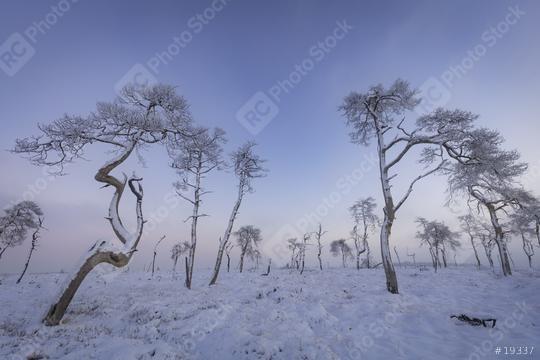 Bäume im Schnee mit blauem Himmel und Nebel, Hohes Venn, Belgien  : Stock Photo or Stock Video Download rcfotostock photos, images and assets rcfotostock | RC-Photo-Stock.: