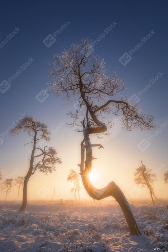Bäume mit Eis im Schnee, Winter, Sonnenaufgang, Hohes Venn, Eifel, Belgien  : Stock Photo or Stock Video Download rcfotostock photos, images and assets rcfotostock | RC-Photo-Stock.: