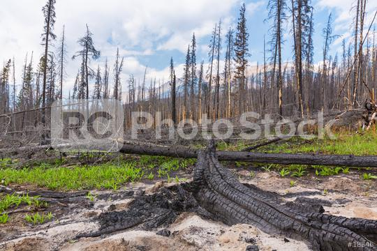 Burnt trees at the rocky mountains in the banff national park canada  : Stock Photo or Stock Video Download rcfotostock photos, images and assets rcfotostock   RC-Photo-Stock.: