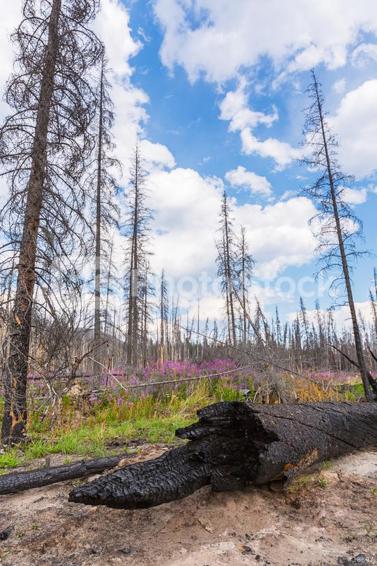 Burnt trees at the rocky mountains in the banff national park canada  : Stock Photo or Stock Video Download rcfotostock photos, images and assets rcfotostock | RC-Photo-Stock.: