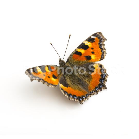 butterfly orange black spots Majesticsensor on white background  : Stock Photo or Stock Video Download rcfotostock photos, images and assets rcfotostock | RC-Photo-Stock.:
