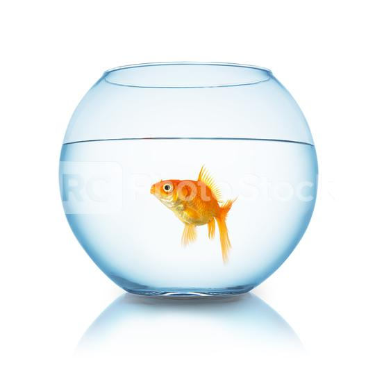 Carassius auratus in a fishbowl  : Stock Photo or Stock Video Download rcfotostock photos, images and assets rcfotostock   RC-Photo-Stock.: