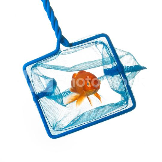 Catching a goldfish  : Stock Photo or Stock Video Download rcfotostock photos, images and assets rcfotostock | RC-Photo-Stock.: