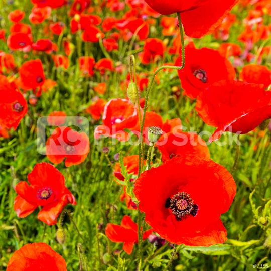 close up of red poppy flowers in a field  : Stock Photo or Stock Video Download rcfotostock photos, images and assets rcfotostock | RC-Photo-Stock.: