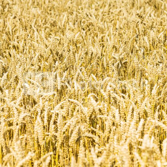 Close-up of a agriculture cornfield   : Stock Photo or Stock Video Download rcfotostock photos, images and assets rcfotostock | RC-Photo-Stock.:
