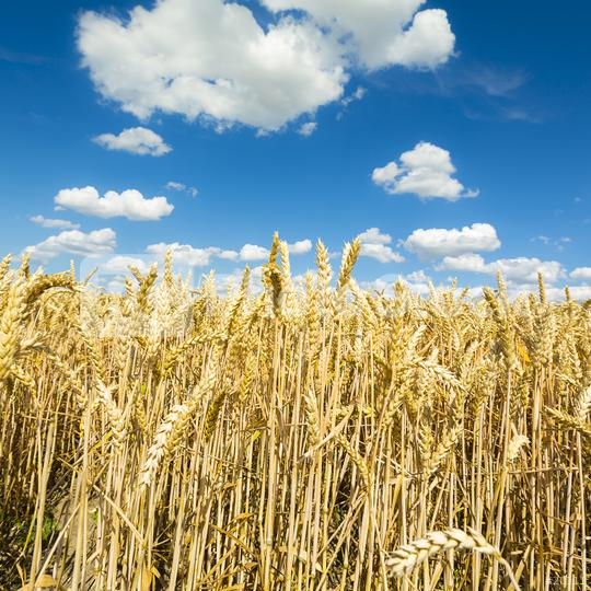 Cornfield agriculture with blue cloudy sky in summer  : Stock Photo or Stock Video Download rcfotostock photos, images and assets rcfotostock | RC-Photo-Stock.: