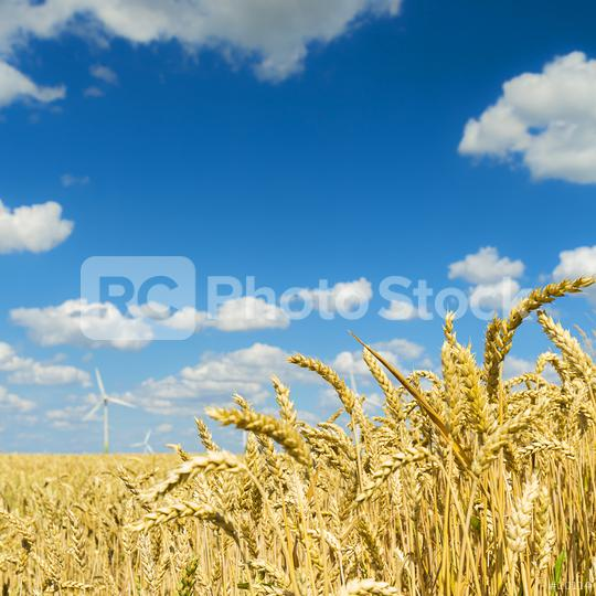Cornfield with blue cloudy sky in summer  : Stock Photo or Stock Video Download rcfotostock photos, images and assets rcfotostock | RC-Photo-Stock.: