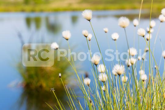 Cotton grass in the High Fens (Hautes Fagnes)  : Stock Photo or Stock Video Download rcfotostock photos, images and assets rcfotostock   RC-Photo-Stock.: