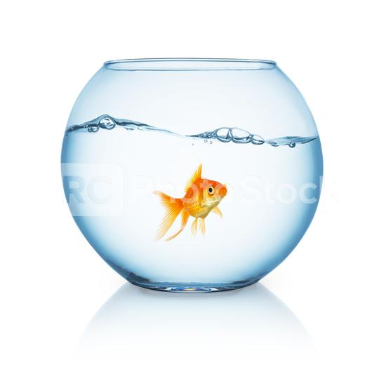 curious looking goldfish ina fishbowl  : Stock Photo or Stock Video Download rcfotostock photos, images and assets rcfotostock   RC-Photo-Stock.: