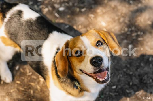 cute beagle dog looking to camera  : Stock Photo or Stock Video Download rcfotostock photos, images and assets rcfotostock   RC-Photo-Stock.: