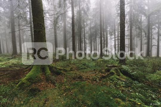 dark pine tree forest with fog  : Stock Photo or Stock Video Download rcfotostock photos, images and assets rcfotostock   RC-Photo-Stock.: