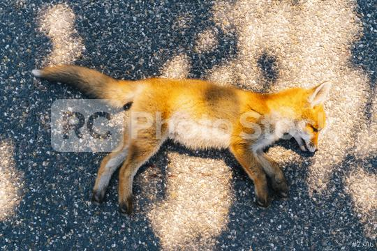 Dead fox killed on the road  : Stock Photo or Stock Video Download rcfotostock photos, images and assets rcfotostock | RC-Photo-Stock.: