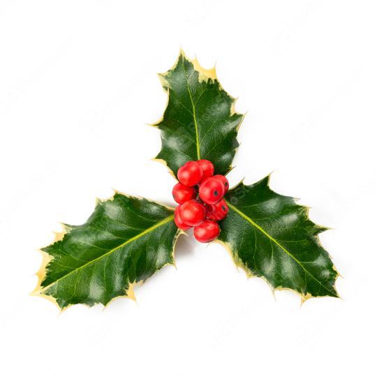 European Holly (Ilex aquifolium) leaves and fruit  : Stock Photo or Stock Video Download rcfotostock photos, images and assets rcfotostock | RC-Photo-Stock.: