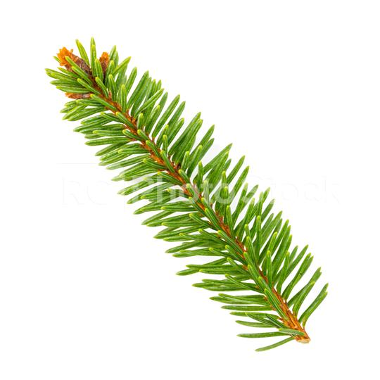 fir branch. Christmas tree, pine, winter isolated on white  : Stock Photo or Stock Video Download rcfotostock photos, images and assets rcfotostock | RC-Photo-Stock.: